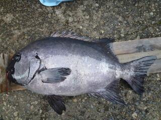 土井さん石鯛2